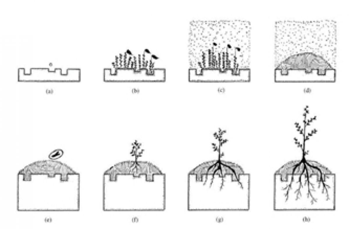 Successie van plantengroei op steen: (a) kaal, biofilm, korstmossen (b en c)  eerste mossen (d), opbouw van moskussens en dood organisch materiaal (e) zaden (f-h) ontwikkeling van zaadplanten